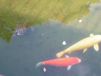 鯉と亀.JPG
